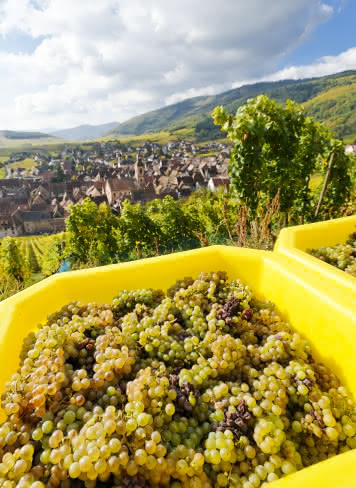Vendanges à Riquewihr